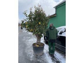 Citroník, původ rostliny Španělsko. 30 letý strom.