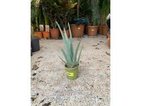 Aloe Vera, Aloe pravá, původ rostliny Španělsko.20 cm