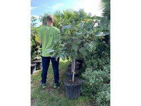 Ficus carica, fíkovník. cca 140 cm