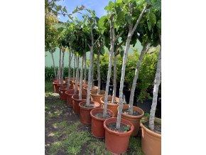 Ficus carica, fíkovník. cca 150 cm