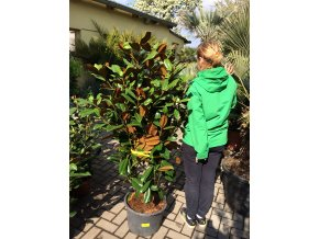 Magnolie grandiflora Gallissoniensis, původ rostliny Španělsko. 160+ cm