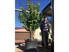 Citroník, původ rostliny Španělsko, obvod kmene 50 cm, výška 2m.