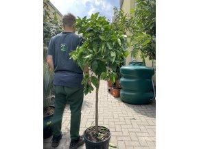 Mandarinka reticulata 160 cm