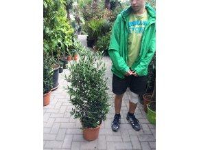 Olea europea , Olivovník. Keř. 110 cm