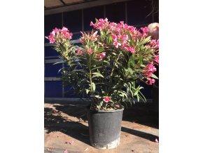 Nerium Oleander - Oleandr, původ rostliny Španělsko. 100-110 cm