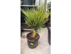 Brahea edulis, Guadalupská palma, původ palmy Španělsko. 160-180 cm