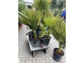Brahea edulis, Guadalupská palma, původ palmy Španělsko. 150 cm
