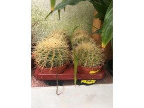 Echinocactus Grusonii 15 cm