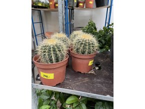 Echinocactus Grusonii 10 cm