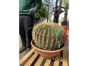 Echinocactus Grusonii 50 cm