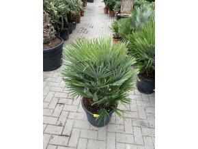 Chamaerops humilis vulcano , palma , původ palmy Španělsko. 100 cm