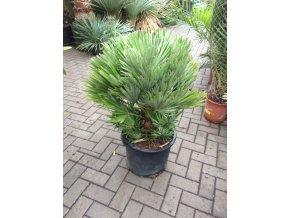 Chamaerops humilis vulcano , palma , původ palmy Španělsko. 80 cm