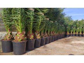 Phoenix canariensis,Datlová palma, Datlovník, původ palmy Španělsko. 140+ cm