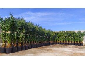Phoenix canariensis,Datlová palma, Datlovník, původ palmy Španělsko. 130 cm