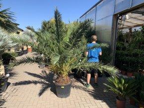 Phoenix canariensis,Datlová palma, Datlovník, původ palmy Španělsko. 200 cm
