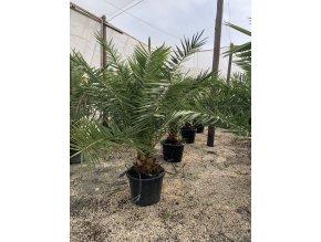 Phoenix canariensis,Datlová palma, Datlovník, původ palmy Španělsko. 180 cm
