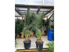 Phoenix canariensis,Datlová palma, Datlovník, původ palmy Španělsko. 170 cm