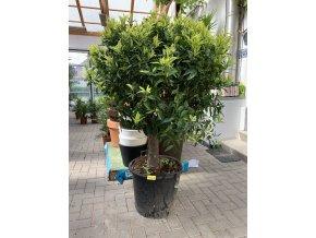 Mandarinka reticulata, původ rostliny Španělsko, obvod kmene min 18 cm