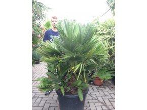 Chamaerops humilis vulcano , palma , původ palmy Španělsko. cca 170 cm
