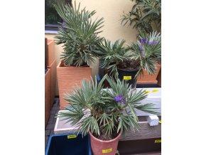 Trithrinax campestris, palma, původ palmy Španělsko. 60cm