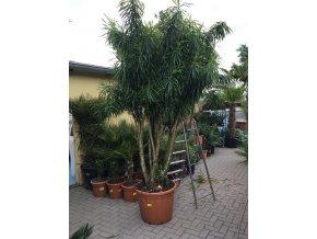 Dracaena Reflexa anita 4m