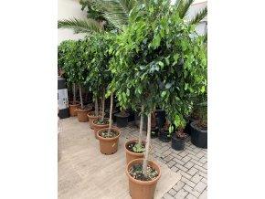 Ficus Benjamina , benjamín, kmínek, původ rostliny Španělsko 140 cm