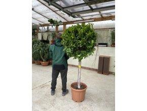 Ficus Benjamina Moclame 170 cm