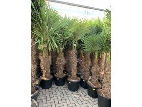 Trachycarpus fortunei, Konopná palma, mrazuvzdorná, původ palmy Španělsko. kmen 100 cm+, 220 cm