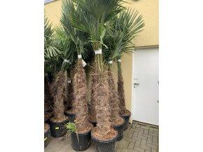 Trachycarpus fortunei, výška 220 cm, kmen 100 cm