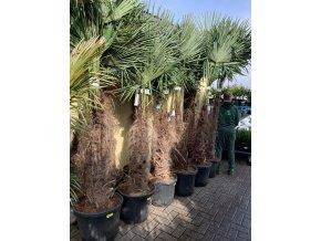 Trachycarpus fortunei, Konopná palma, mrazuvzdorná, původ palmy Španělsko. kmen 100 cm+, 190 cm