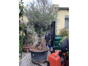 Olea europea , Olivovník. Obvod kmene 110 cm+, 300 cm