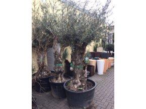 Olea europea , Olivovník. Obvod kmene 110 cm+