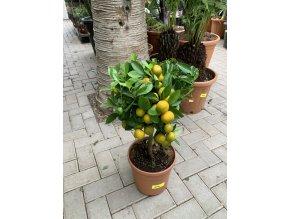 Citrus citrofortunella mitis 60 cm