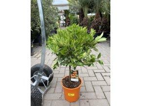 Citrus citrofortunella mitis 80 cm