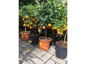 Citrus citrofortunella mitis 70 cm