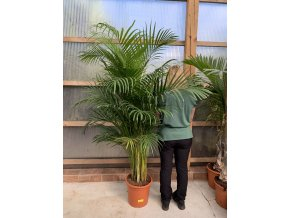 Areca lutescens, chrysalidocarpus, dypsis. 130-150 cm