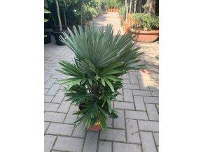 Chamaerops humilis vulcano , palma , původ palmy Španělsko. 60 cm