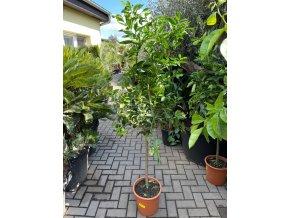 Limetka, původ rostliny Španělsko.160 cm