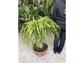 Beaucarnea guatemalensis, sloní noha, původ rostliny Španělsko. 100 cm