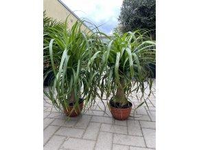 Beaucarnea guatemalensis, sloní noha, původ rostliny Španělsko. 55 cm