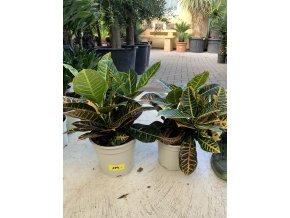 Codiaeum variegatum, kroton. 40 cm