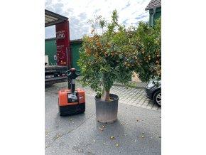 Citrus Kumquat strom