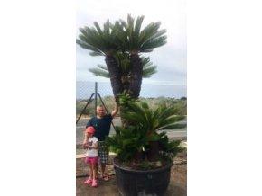 Cycas revoluta, Cykas revoluta, původ Španělsko. 400 cm