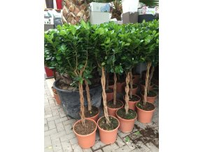 Ficus Moclame, stromek s propleteným kmínkem, 110 cm