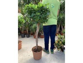Ficus Moclame, stromek, 130 cm