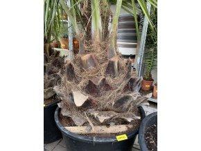 Jubaea chilensis, Chilská palma, původ palmy Španělsko 250 cm