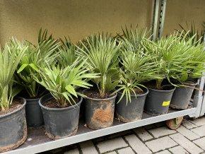 Chamaerops humilis vulcano , palma , původ palmy Španělsko. 50 cm