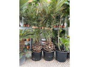 Jubaea chilensis, Chilská palma, původ palmy Španělsko 300 cm