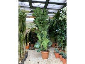 Ficus Lyrata, původ rostliny Španělsko. 130 cm