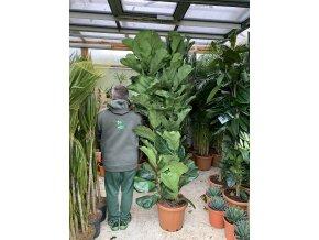 Ficus Lyrata, původ rostliny Španělsko. 200 cm